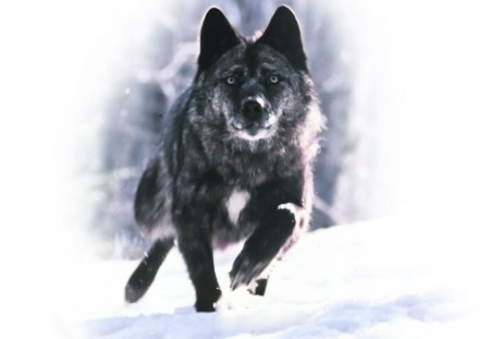 running wolf dogs amp animals background wallpapers on