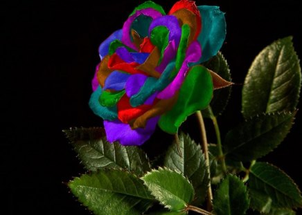 Multi colored rose flowers nature background for Pictures of multi colored roses