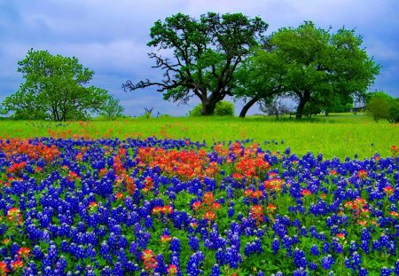 Bluebonnets - flowers, spring, beautiful, meadow, pretty, nice ...