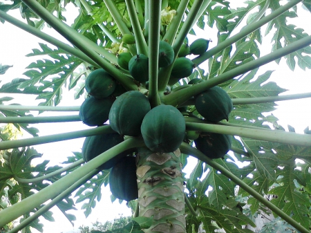 papaya tree other amp nature background wallpapers on