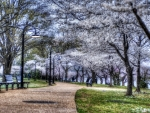 trees shedding blossoms in a park hdr