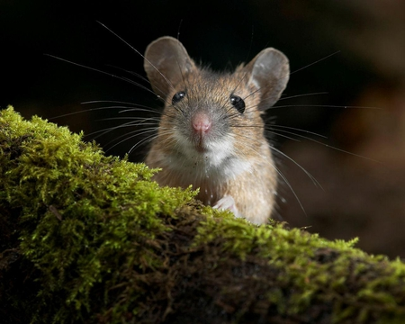 Field mouse animal - photo#19
