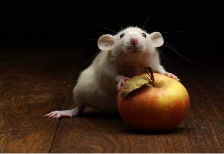 Rat with an apple - Other & Animals Background Wallpapers ...