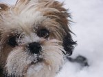 Snow Face Lhasa Apso