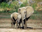 (African Elephants) Mother and child