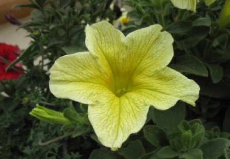 Yellow Flower - green, Photography, flower, Petunias, red, yellow