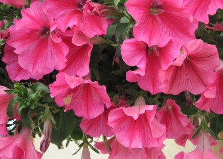 Petunias pink flowers - green, flowers, Photography, pink, petunias