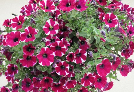 Hanging basket with Peppermint Petunias - flowers, white, peppermint petunias, green, red, Photography