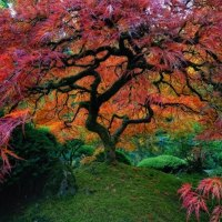 Japanese Maple at The Japanese Gardens - Portland, OR