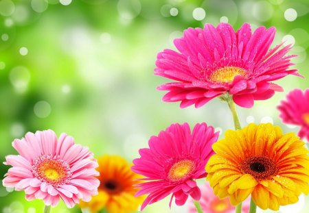 Lovely gerberas - flowers, daisies, beautiful, colorful, colors, pretty, lovely, fresh, nice, nature, gerberas