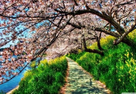 cherry-blossom-tunnel - flowers, nature, fields, trees