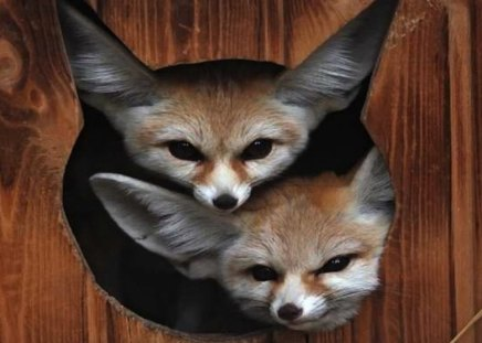 Two Fennec Foxes Are Better Than One Other Amp Animals
