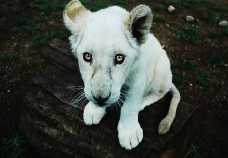 Beautiful Baby Lion Cub - young, baby, lion, beautiful, white, cub, sad