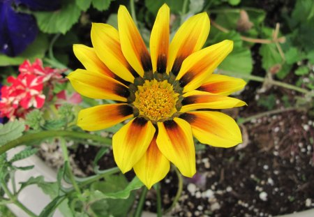Gazania Yellow Flower in my garden - photography, white, red, flower, yellow, purple, brown, orange, gazania, green