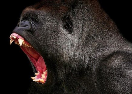 Fierce Anger! - Primates & Animals Background Wallpapers ... - photo#7
