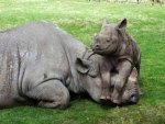 Baby Rhino Calf Having Some Fun!