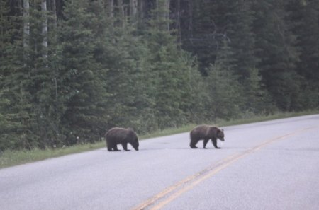 Bears cross the street - green, photography, trees, road, bears
