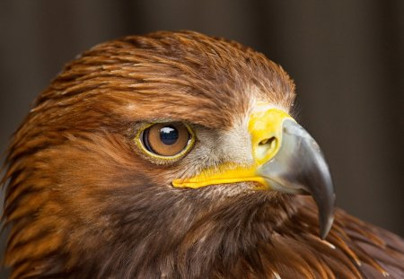 Eagle - bird, feathers, eagle, beak