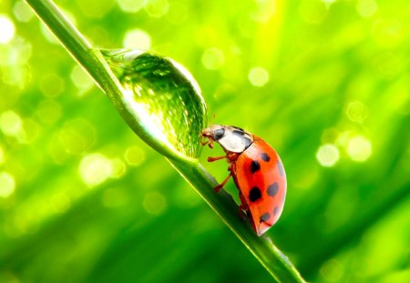 Ladybug - fantastic, garden, animals, amazing, beautiful, ladybug, great, adorable, pretty, animal, nice, culm, awesome, grass, picture, outstanding, waterdrop, marvellous, wonderful, grass stalk, insect, super, wallpaper, stunning, skyphoenixx1, bug, nature