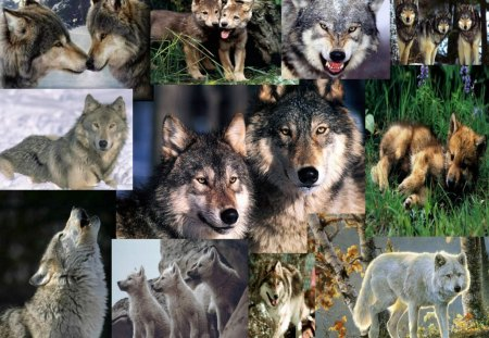 Wolf Wallpaper Collage - collge, abstract, wallpaper, wolf wallpaper collage