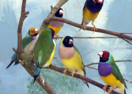Colorful Goualouch Finches - Birds & Animals Background Wallpapers on ... Group Of Colorful Birds