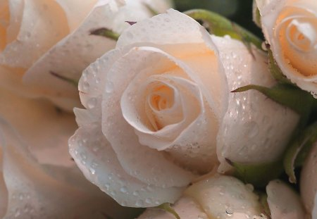 Hint of peach - flowers, dew, roses, beauty, peach