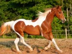 American Painted Pinto