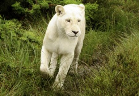 White Lion - animal, lion, cat, white lion, cute