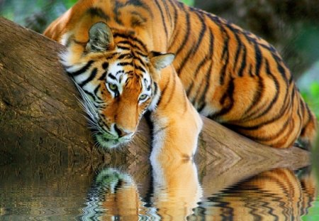 beautiful tiger reflection cats amp animals background