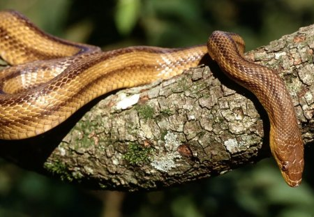 YELLOW RAT SNAKE - serpents, rat snakes, reptiles, trees, snakes