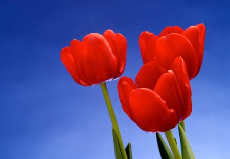 Ruby trio - green stems, flowers, sky, blue, red, tulips