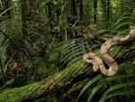 JUNGLE CONSTRICTOR
