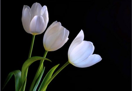 Purity - green, flowers, black, white, tulips, three