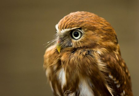 Owl - owl, brown, feathers, eyes