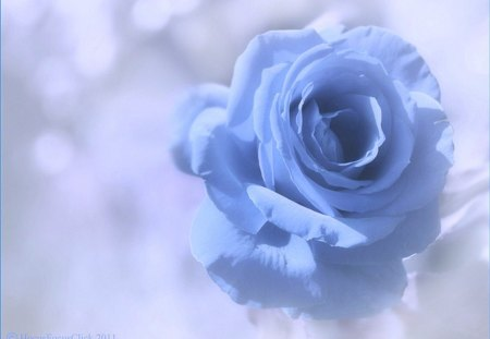 Blue softness for Carol - rose, flower, petals, soft, blue