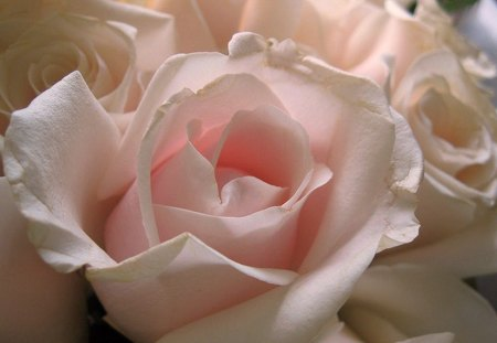 A hint of pink for wallpapercreator - rose, flower, pink, white, beauty