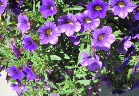 Purple Flowers day 36 - green, flowers, Petunias, photography, purple, yellow