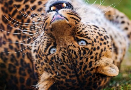 Amur Leopard - leopard, beautiful, cats, cat, looking, amur