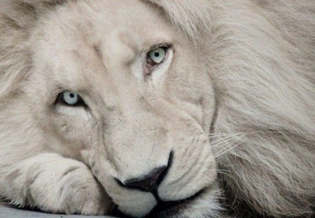 Beautiful White Lion - lion, cat, animals, animal, cats, close up, white