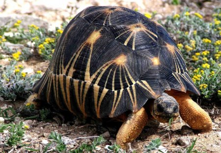 Tortoise - wildlife, animals, nature, turtle