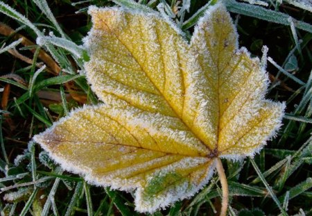 FROSTED LEAF - leaves, snow, grass, frost, ice, winter