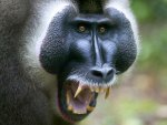 African_Baboon