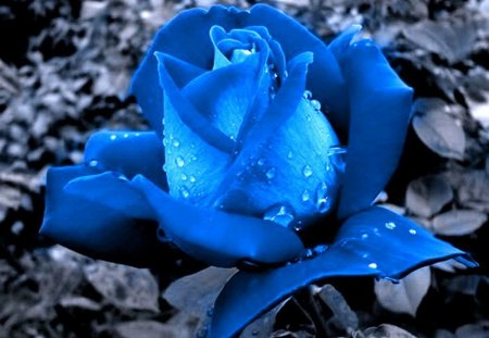 Rose blue - rose, flower, grey, blue, beauty
