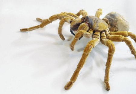 The Goliath Bird eating Spider - tarantula, spiders, spider, predators, goliath spider