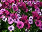 Pink & Lovely Daisies