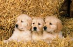 Puppies in Hay