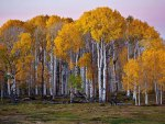 Birch Forest in Fall