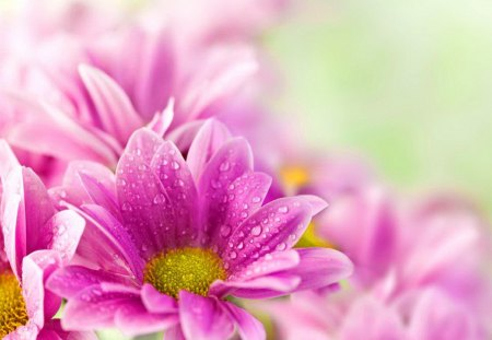 Delicate pink flowers - flowers, daisies, beautiful, soft, pink, freshness, gerbera, pretty, drops, lovely, fresh, nice, wet, nature, bouquet
