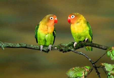 Inseparable Birds - animals, colorful, parrots, lorikeets, feathers, birds
