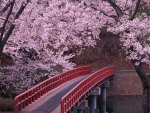 Beautiful Pink Blossoms & Red Bridge